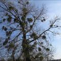 Poplar & Mistletoe